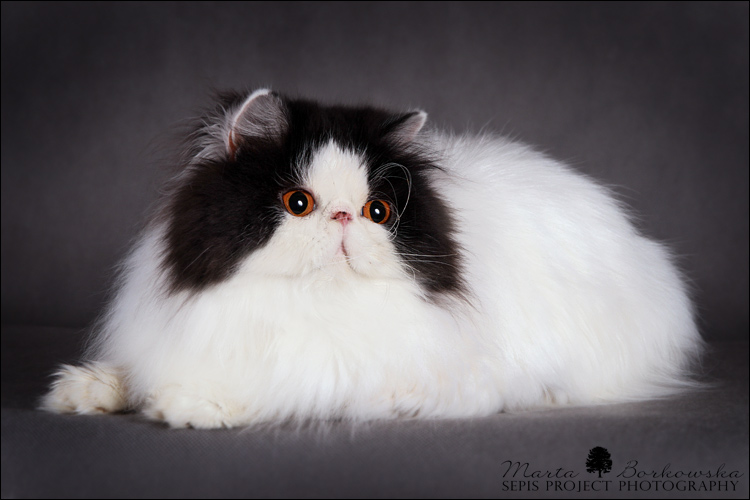Persian cat in germany